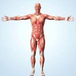P1500123-Muscular_system-SPL