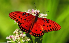 Red-Butterfly-Wallpapers-HD