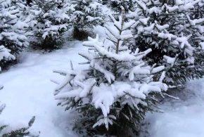 Verslo erdvė: Kalėdinių eglučių augintojas – miškininkas Aurimas